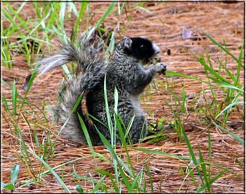 Photos of animal antics for your enjoyment.-black-faced-fox-squirrel-sc.jpg