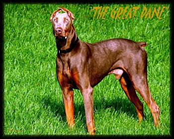 Dogs-copy-carltons-great-dane.jpg