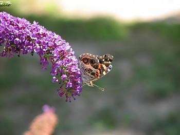 """Lets look at some """"butterflies"""" and other insects-img_0056.jpg"""