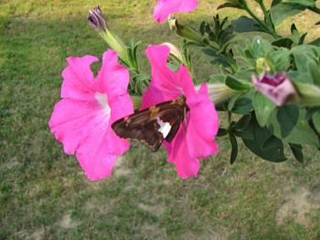 """Lets look at some """"butterflies"""" and other insects-humming-birds-bees-linda-087.jpg"""