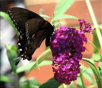 """Lets look at some """"butterflies"""" and other insects-img_5426-copy.jpg"""