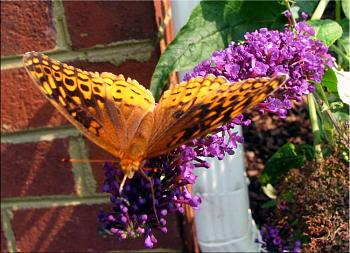 """Lets look at some """"butterflies"""" and other insects-img_8394-copy.jpg"""