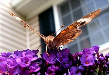 "Lets look at some ""butterflies"" and other insects-img_8501-copy.jpg"