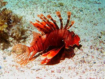 critters-juvenilelionfish.jpg