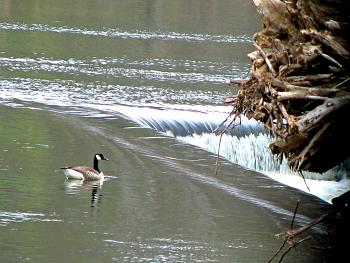 The Google Free Picture Thread-247468canada_goose_on_diversion_dam_-_richmond_va_usa.jpg