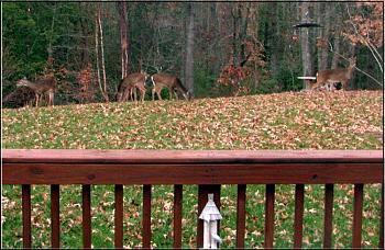 Deer face cropped-deer-backyard.jpg