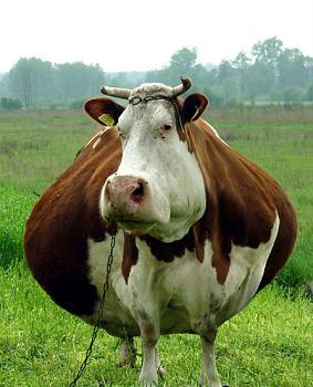 My neighbor is a FAT COW!!!-fat_cow-1.jpg