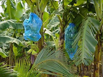 "Everybody loves ""flowers"" and ""trees""......let's share-add yours!-st.-lucia-wi-banana-stalk-ready-harvest.jpg"
