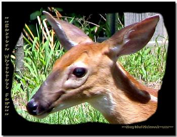 Deer face cropped-eastern-white-tailed-deer-fawn.jpg