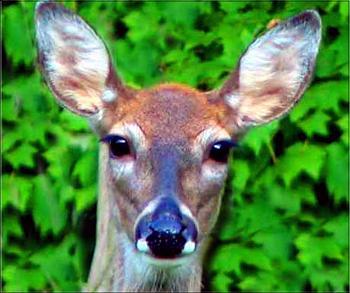 Deer face cropped-deer3%3D.jpg