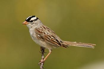 "How about your ""bird"" photos.....here's a few of mine.-white-crowned-sparrow.jpg"