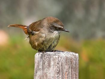 "How about your ""bird"" photos.....here's a few of mine.-scrub_wren_peering444.jpg"