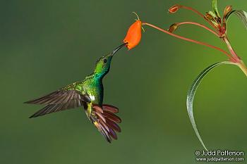 "How about your ""bird"" photos.....here's a few of mine.-rufous-tailed_hummingbird_green-breasted-mango.jpg"