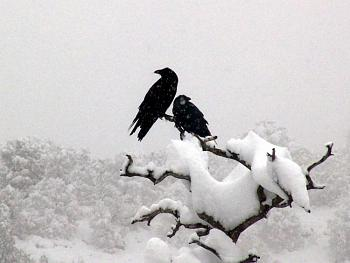 "How about your ""bird"" photos.....here's a few of mine.-ravens_winterstormsm.jpg"