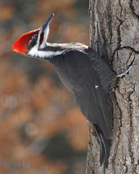 """How about your """"bird"""" photos.....here's a few of mine.-pileated3.jpg"""