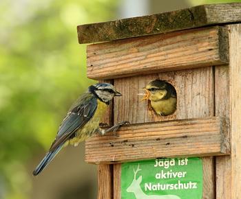 "How about your ""bird"" photos.....here's a few of mine.-parus_caeruleus_feeding.jpg"