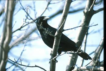 "How about your ""bird"" photos.....here's a few of mine.-american-crow.jpg"