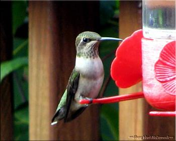 "How about your ""bird"" photos.....here's a few of mine.-hummingbird-1.jpg"