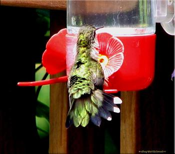 "How about your ""bird"" photos.....here's a few of mine.-hummingbird-3.jpg"