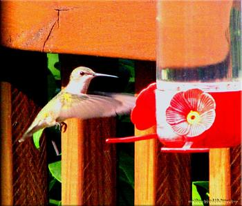 "How about your ""bird"" photos.....here's a few of mine.-ruby-throated-hummingbird-female-2.jpg"