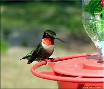 "How about your ""bird"" photos.....here's a few of mine.-hummingbird-ruby-throated-male.jpg"