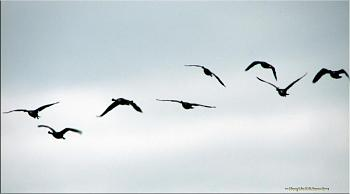 "How about your ""bird"" photos.....here's a few of mine.-geese-wing-3.jpg"