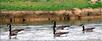 "How about your ""bird"" photos.....here's a few of mine.-geese-water.jpg"