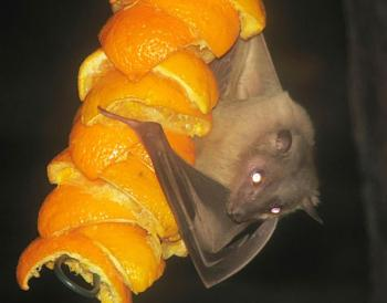 "How about your ""bird"" photos.....here's a few of mine.-egyptian.fruitbat.jpg"