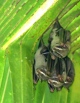 "How about your ""bird"" photos.....here's a few of mine.-tent_bats_san_pedrillo_04.jpg"
