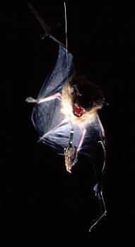 "How about your ""bird"" photos.....here's a few of mine.-bat-capture-moth.jpg"