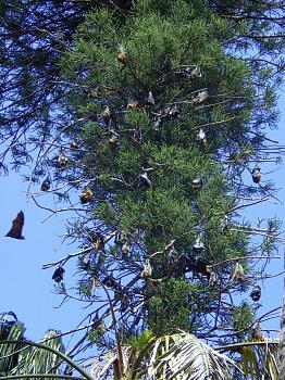 """How about your """"bird"""" photos.....here's a few of mine.-batsbotanics1.jpg"""