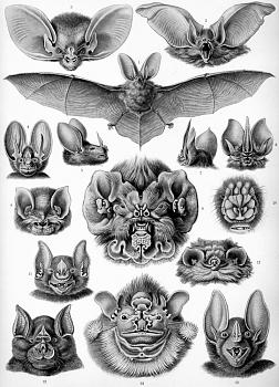 "How about your ""bird"" photos.....here's a few of mine.-haeckel_chiroptera.jpg"