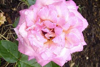 "Everybody loves ""flowers"" and ""trees""......let's share-add yours!-rose-pink-after-rain.jpg"