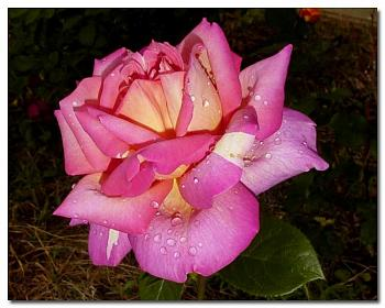 "Everybody loves ""flowers"" and ""trees""......let's share-add yours!-pink-rose-most-beautiful-copy.jpg"
