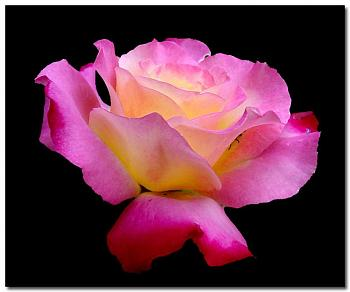 """Everybody loves """"flowers"""" and """"trees""""......let's share-add yours!-pink-rose.jpg"""