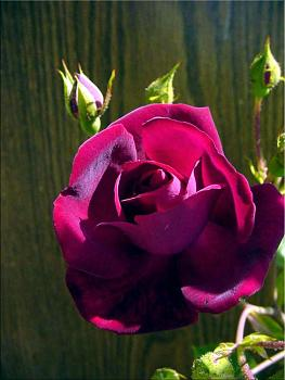 "Everybody loves ""flowers"" and ""trees""......let's share-add yours!-maroon-rose.jpg"