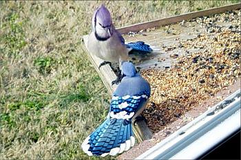 "How about your ""bird"" photos.....here's a few of mine.-bluejays-copy.jpg"