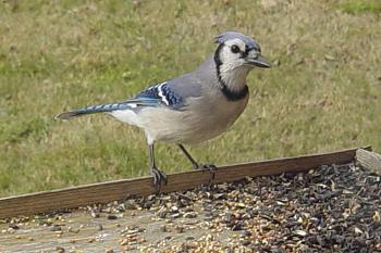"""How about your """"bird"""" photos.....here's a few of mine.-blue-jay-.jpg"""