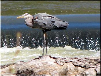 """How about your """"bird"""" photos.....here's a few of mine.-great-blue-heron-april-5-2007-12-copy.jpg"""