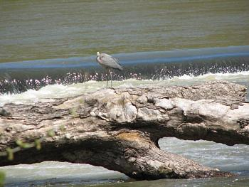 """How about your """"bird"""" photos.....here's a few of mine.-great-blue-heron-april-5-2007-14-.jpg"""