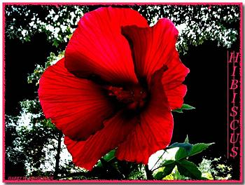 "Everybody loves ""flowers"" and ""trees""......let's share-add yours!-hibiscus-red-3.jpg"