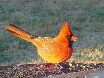 "How about your ""bird"" photos.....here's a few of mine.-cardinal-male-3-.jpg"