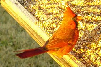 "How about your ""bird"" photos.....here's a few of mine.-cardinal-3-.jpg"