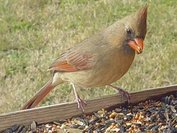 """How about your """"bird"""" photos.....here's a few of mine.-cardinal-female-2-.jpg"""
