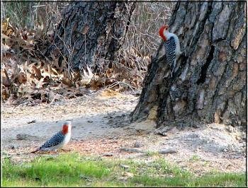 "How about your ""bird"" photos.....here's a few of mine.-red-belly-woodpecker-female-male.jpg"