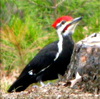 """How about your """"bird"""" photos.....here's a few of mine.-pileated-woodpecker%3D-25.jpg"""