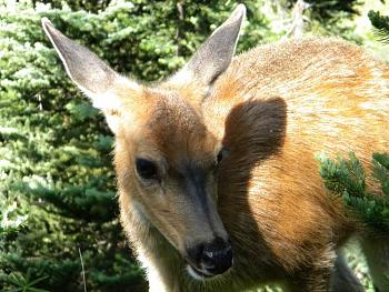 WILDLIFE pics . . . post em if ya gottum-2009-hurricane-ridge-hike3-070.jpg