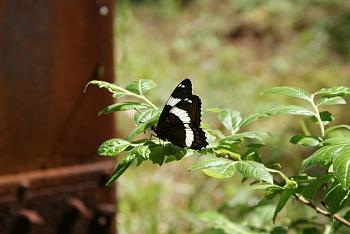 """Lets look at some """"butterflies"""" and other insects-dsc01737.jpg"""
