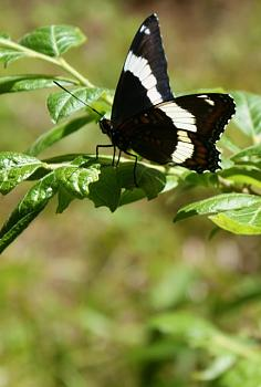 """Lets look at some """"butterflies"""" and other insects-dsc01738.jpg"""