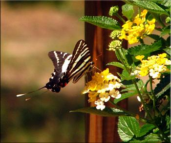 "Lets look at some ""butterflies"" and other insects-img_7053-copy.jpg"